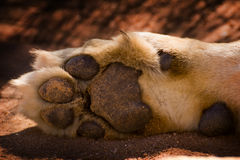 Details of lion paw. Closeup of the foot and pads of a lion paw Royalty Free Stock Photography