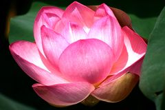 Details of lotus flower Royalty Free Stock Image