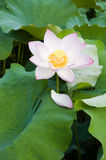 Details of lotus flower Stock Photos