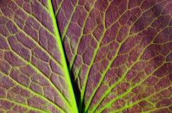 Details a lotus leaf Stock Image