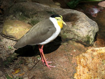 Details of a masked lapwing Royalty Free Stock Images
