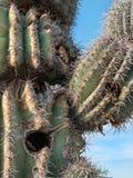 Details, mature Saguaro Cactus. Saguaro Cactus shows signs of aging Stock Photography