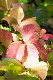 Details of multicolored leaves of parthenocissus in autumn. In a sunny day Stock Photo