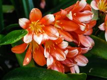 Details of a Natal lily flower. A flowering head of Clivia miniata also known as bush lily, Kaffir lily Royalty Free Stock Photo