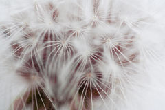 Details of nature. Dandelion macro royalty free stock photos