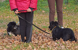 The details of nature in autumn with two dogs Pekingese Stock Image