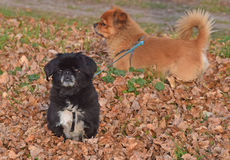 The details of nature in autumn with two Pekingese Stock Photos