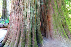 Details, old growth Western Redcedar Stock Photography