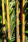Details of old yellow trunks in a bamboo forest stock images