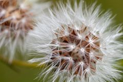 Details of an overblown dandelion Stock Image