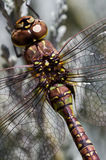 Details. Paddle-tailed Darner (Aeshna palmata). Willamette Valley, Oregon Stock Image
