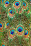 Details of a peacock tail with feather eyes in saturated blues and greens Royalty Free Stock Image