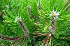 Details of a pine Royalty Free Stock Images