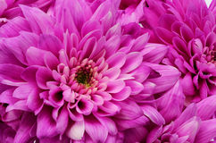 Details of pink flower for background or texture Stock Photography