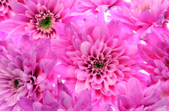 Details of pink flower for background or texture Stock Images