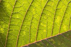 Details of a Poinsettia Leaf Royalty Free Stock Photography