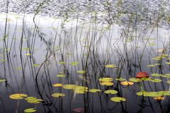 Details of pond in autumn. Close up of details of pond reeds and water lilies in autumn scene Stock Photos