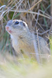 Details of prairie dog Stock Images