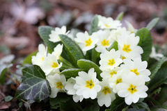 Primula vulgaris Royalty Free Stock Photos