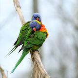 Rainbow Lorikeet, Trichoglossus haematodus Stock Photos
