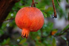 Details of red fruit. Close up of red fruit in mediterranean garden Stock Photo