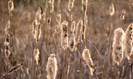 Details of Reed, Typha, in Atumn. Stock Photography