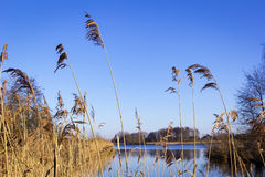 Details of Reed in Winter. Royalty Free Stock Image