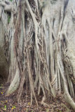 Details of the root system of the banyan tree Royalty Free Stock Photography