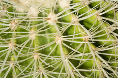 Details of sharp curved spines of an Echinocactus grusonii cactus Stock Photos