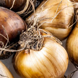Details of small root onions Stock Photo