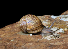 Details of snail on rock. Close up of single snail crawling on rock, black background Royalty Free Stock Image