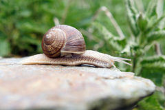 Details of snail on rock Stock Photography