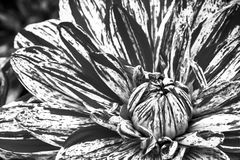 Details of spotted dahlia fresh flower macro photography. Black and white photo. Details of spotted dahlia fresh flower macro photography. Black and white photo Royalty Free Stock Photos