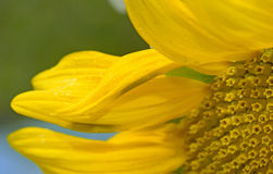 Details of sunflower Stock Images