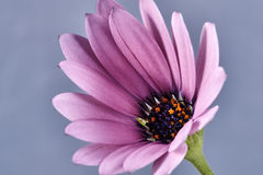 Details of a thriving African daisies Royalty Free Stock Photography