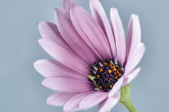 Details of a thriving African daisies Stock Image
