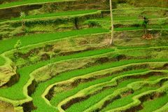 Details of a traditional rice paddy in Bali Royalty Free Stock Photo