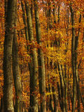 Details of trees in a forest in autumn. Detail of orange trees in a forest in autumn Stock Photos