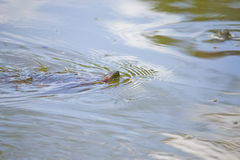Details of a turtle swimming at a lake Stock Images