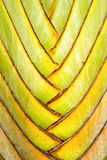 Details van bladsteel van reizigerspalm Royalty-vrije Stock Foto