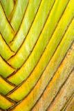 Details van bladsteel van reizigerspalm Stock Foto's