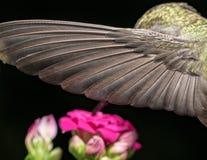 Details van de kolibrievleugel Royalty-vrije Stock Afbeeldingen