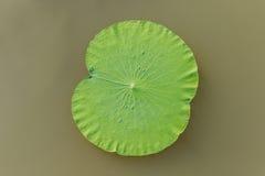 Details van groene lotusbloembladeren over water Royalty-vrije Stock Afbeelding