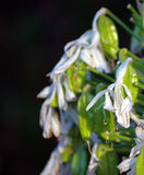 Details van leliebloem en zaden stock afbeeldingen