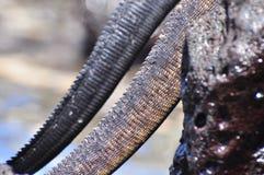 Details van Marine Iguana op een rots stock afbeeldingen