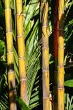 Details van oude gele boomstammen in een bamboebos stock afbeeldingen