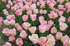 Details van roze/gele gekleurde tulpen royalty-vrije stock afbeelding