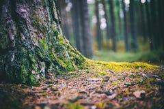 Details van wild die bos, pijnboommos met groen mos, close-upbeeld wordt behandeld royalty-vrije stock afbeeldingen