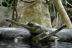 Details van wilde gharial reptielen Stock Foto's