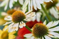 Details von weißen Blumen im Garten mit Hintergrundweichzeichnung Lizenzfreie Stockbilder